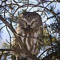 Saw Whet Owl by John Bennett