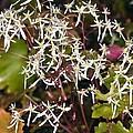 Saxifrage (saxifraga Fortunei 'wada') by Dr Keith Wheeler