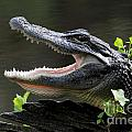 Say Aah - American Alligator by Meg Rousher