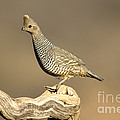 Scaled Quail Callipepla Squamata by Anthony Mercieca
