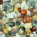 Scallop Shells by Kevin Fortier