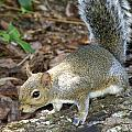Scampering Squirrel by Larry Allan