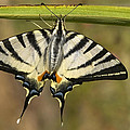 Scarce Swallowtail  by Cliff Norton