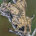 Scaredy Bobcats by Cecile Fortier