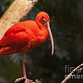 Scarlet Ibis by Bianca Nadeau