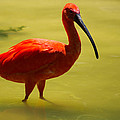 Scarlet Ibis by JG Thompson