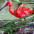 Scarlet Ibis by Millard H. Sharp