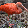 Scarlet Ibis One Legged Pose by Richard Bryce and Family