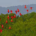 Scarlet Ibis by Tony Beck