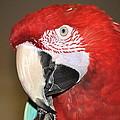 Scarlet Macaw by AJ  Schibig