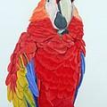 Scarlet Macaw by Anita Putman