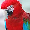 Scarlet Macaw by DejaVu Designs
