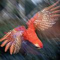 Scarlet Macaw Flying Amazon Basin Peru by Tui De Roy