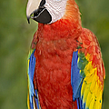 Scarlet Macaw Parrot by Susan Candelario