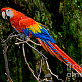 Scarlet Macaw Perched by Anthony Mercieca