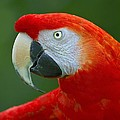 Scarlet Macaw by Tony Beck