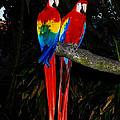Scarlet Macaws by David Mortenson