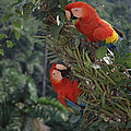 Scarlet Macaws In Rainforest Canopy by Tui De Roy