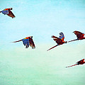 Scarlet Mackaws Flying by Peggy Collins
