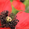 Scarlet Poppy Macro by Chris Berry