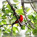 Scarlet Tanager - 11 by Travis Truelove