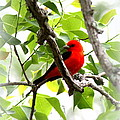 Scarlet Tanager - 19 by Travis Truelove