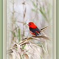 Scarlet Tanager 3630-10-ttp by Travis Truelove