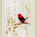 Scarlet Tanager 3630-12 by Travis Truelove