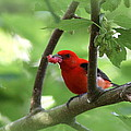 Scarlet Tanager - Fallout by Travis Truelove