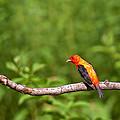 Scarlet Tanager On Snag by Randall Branham