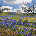 Scattered Bluebonnets by David and Carol Kelly