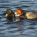 Scaup And Redhead Couple  by Ward McGinnis