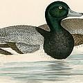 Scaup Duck by Beverley R. Morris