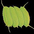 Scenedesmus Algae, Sem by Science Photo Library