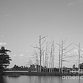 Scenic Swamp Cypress Trees Black And White by Joseph Baril