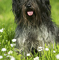Schapendoes, Or Dutch Sheepdog by Jean-Michel Labat