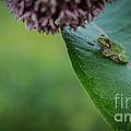 Schlitz Audubon Tree Frog by Andrew Slater