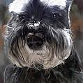 Schnauzer Portrait by Portraits By NC