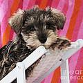 Schnauzer Puppy Looking Over Top by John Daniels
