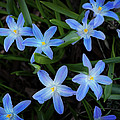 Scilla Flowers In The Morning by Mary Machare