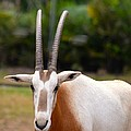 Scimitar Horned Oryx 2 by Richard Bryce and Family