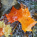 Scioto River Leaves Series 1 by Paddy Shaffer