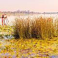 Scirpus In The River by Alain De Maximy