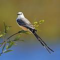 Scissor-tailed Flycatcher by Bill Dodsworth