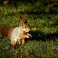 Sciurus Vulgaris In Evening Light by Jouko Lehto