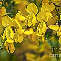 Scotch Broom 3 by Arterra Picture Library