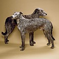 Scottish Deerhounds, Stuffed Specimens by Science Photo Library