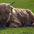 Scottish Highland Cattle 3                          by Paul Cannon