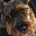Scottish Terrier Closeup by Jess Kraft