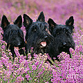 Scottish Terrier Dogs by John Daniels
